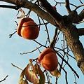 Photos: 珍宝柿