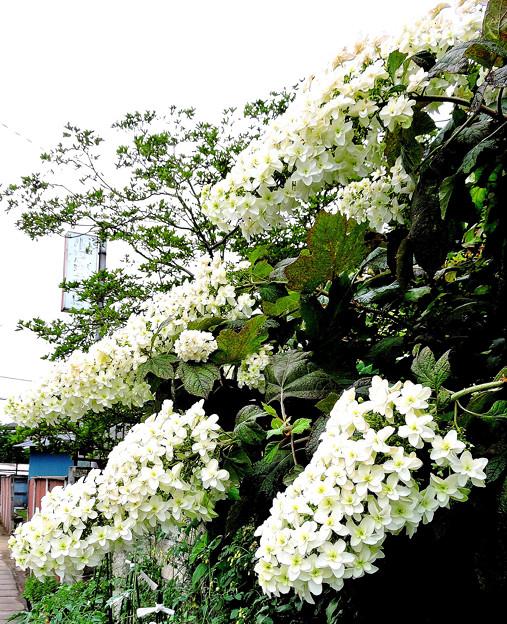 紫陽花の季節-7 柏葉アジサイ