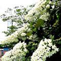Photos: 紫陽花の季節-7 柏葉アジサイ