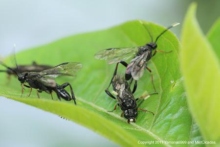 ハバチの一種
