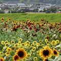 Photos: 大原野のひまわり畑