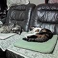 我が家のネコ 1蘭と寅