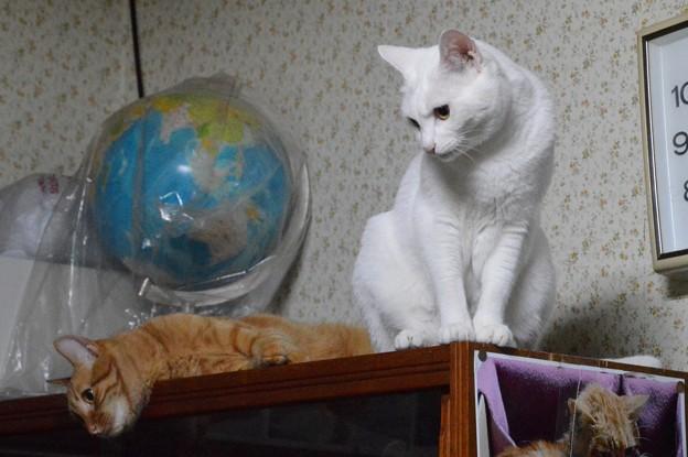 写真: 2015年08月08日のシロちゃん(メス2歳)とトラちゃん(2歳前)
