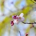Photos: 2012 桜(1)