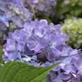 北海道もやっと紫陽花が咲き始めました^^♪,