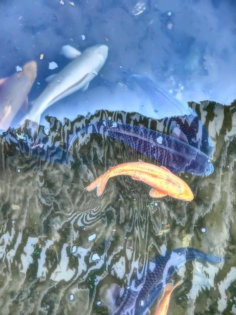 Photos: 鯉の水中花
