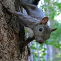 夏は巣立ちの季節...蝦夷栗鼠