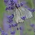 遅咲きのラベンダーと蝶