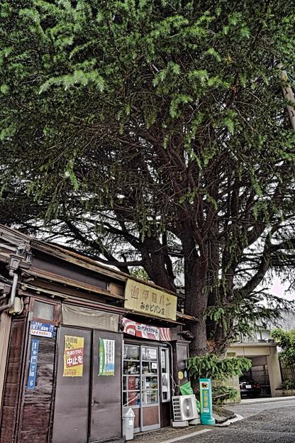 谷中のヒマラヤ杉1