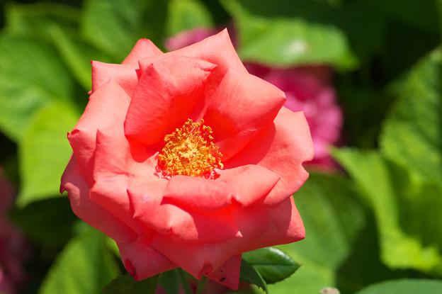 庭の薔薇さん