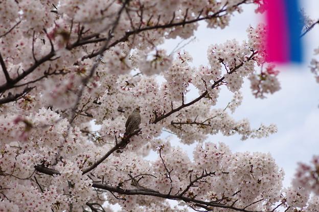 桜の中のヒヨドリさん
