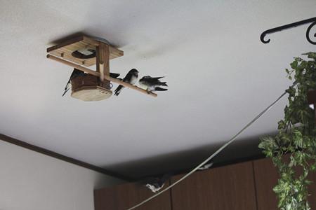 家の中で巣立ちの練習