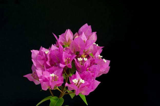 【庭の花(ブーゲンビリア)】3