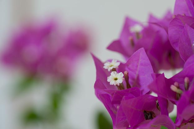 【庭の花(ブーゲンビリア)】4