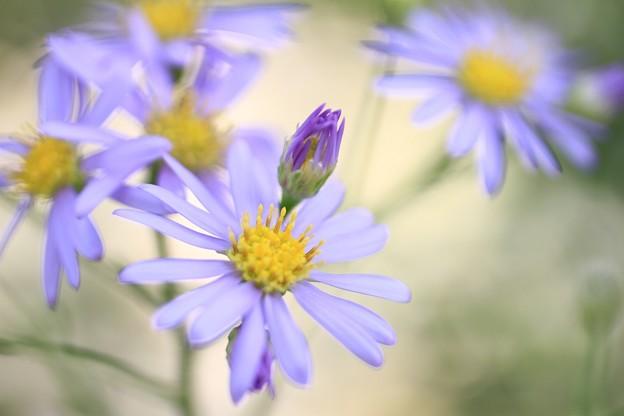 IMG_2658橘寺(仏頭山上宮皇院菩提寺)・紫苑