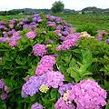 Photos: 満開の紫陽花