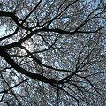 相模川の大島付近の桜2009-2