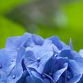 Photos: 今朝の紫陽花
