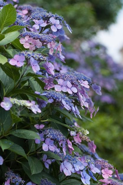 公園の紫陽花