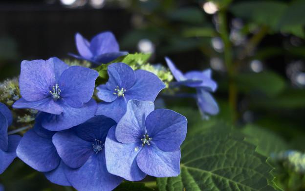 上野公園の紫陽花