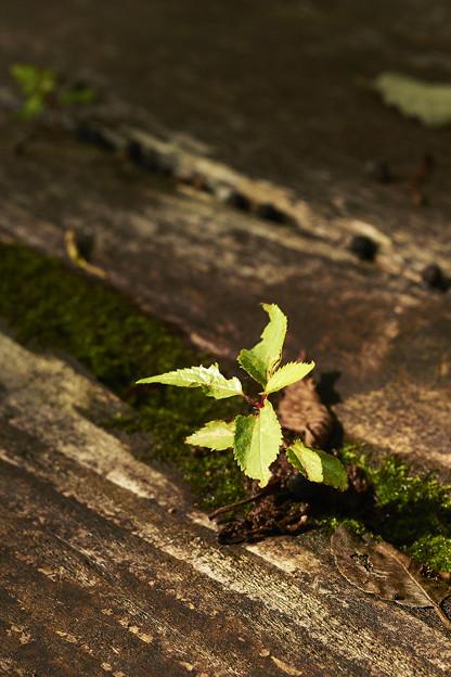 小さなヤマザクラの樹