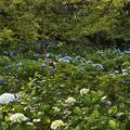 紫陽花の斜面