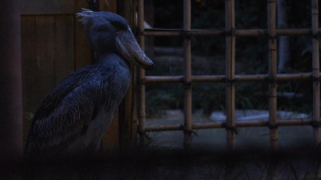 夜のハシビロコウ
