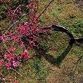 写真: 2011年2月28日 洞慶院 梅園(4)