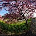 2012年3月6日 南伊豆町 「みなみ桜」 360度パノラマ写真(2)