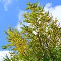 Photos: 銀杏の大木