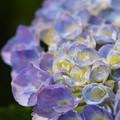 写真: 水無月の花