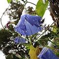 Photos: ヘブンリーブルーの花