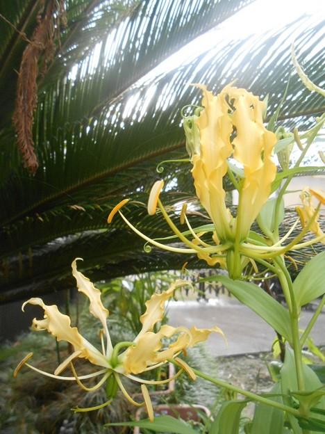 黄色いグロリオサ