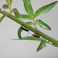 チュウレンジバチ  成虫
