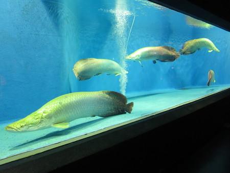 上越市立水族博物館 ピラルク水槽