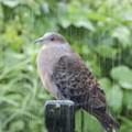 7月19日「雨中の鳩」