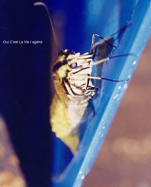 キアゲハ飼育(羽化の瞬間。まずは前脚、そして頭部。)
