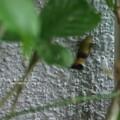 Photos: 壁やら網やらに産卵。(オオスカシバ)