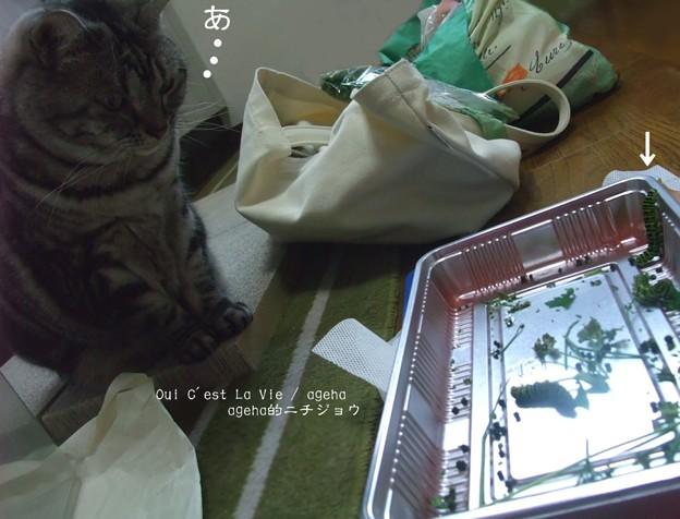 猫が発見。(キアゲハ飼育)