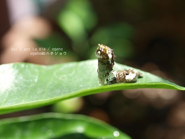 日差しが強いと(ナミアゲハ幼虫)