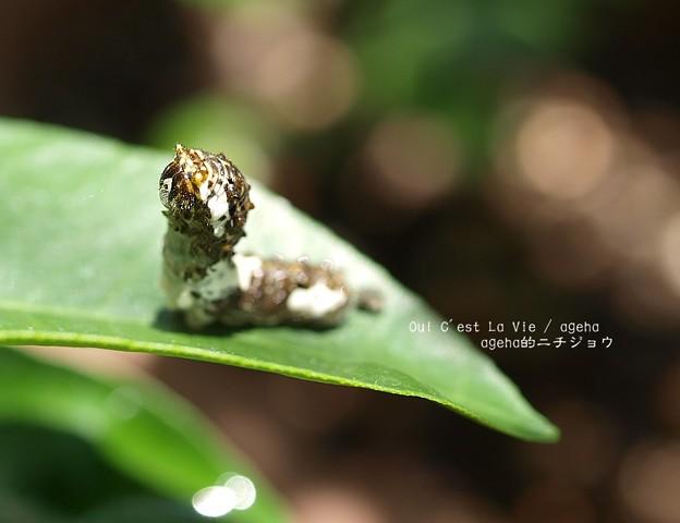 ラスカルっぽい。(ナミアゲハ幼虫)