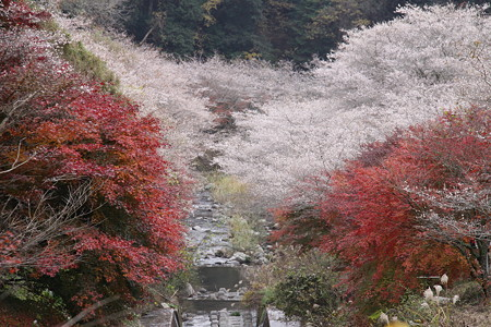 小原の四季桜2
