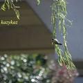 柳の枝~に鳥がいる♪