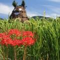 彼岸花と実る稲