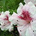 写真: Rhododendron