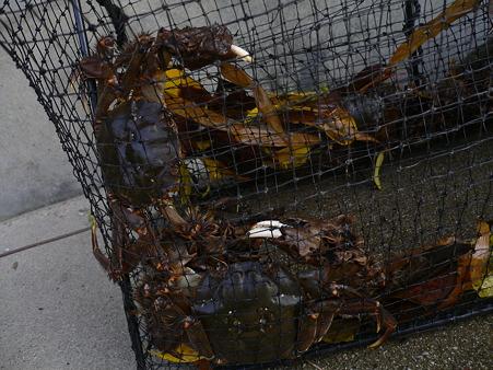 網にかかったモクズガニ