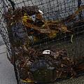 Photos: 網にかかったモクズガニ