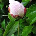 Photos: 雨の花達