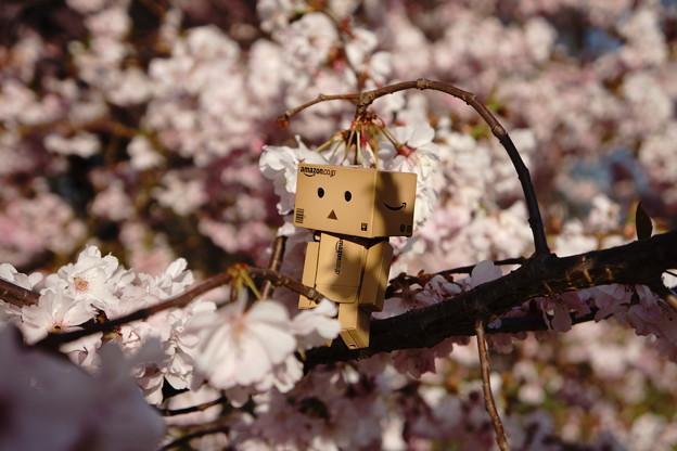 Photos: ダンボー君の花見