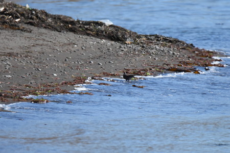 海の水を飲むキジバト